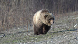 Terrible wild brown bear walking on stones in spring forest in search of food Footage