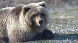 Portrait of hungry wild brown bear lies on stones Footage
