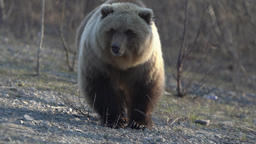 Wild terrible brown bear walking on stones in spring forest in search of food Footage