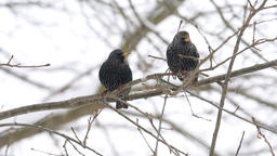 European starling two birds pair perched on bare tree branch winter snow Footage