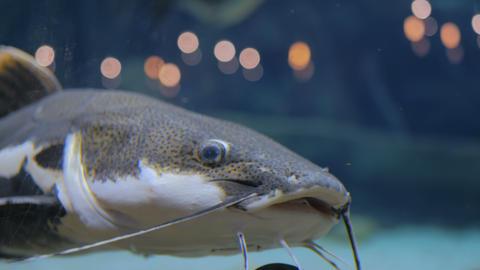 Big catfish. Phractocephalus hemioliopterus Live Action