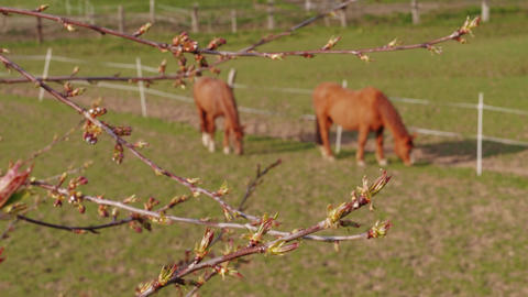 Maple burgeons on branch and grazing horses in farm paddock Live Action