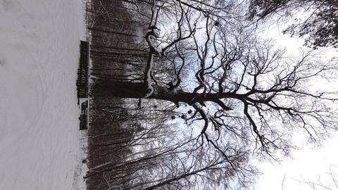 Ancient Oak vertical video 4K Footage