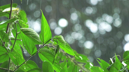 Heavy Tropical Rain on Green Leaves 4k Footage