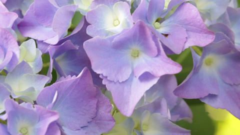 garden of italy little hydrangea flower and grass move by the wind in wild Footage