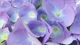 Little hydrangea flower 0003 Footage