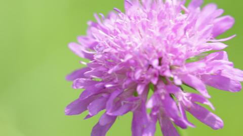 Little violet flower 010 Footage
