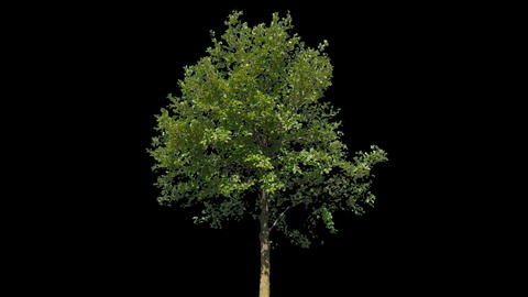 Tilia Isolated Tree Live Action