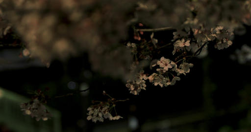 Cherry blossom at the park in Tokyo at night medium shot Live Action