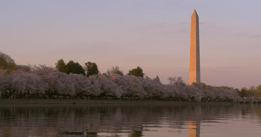 Washington Monument and Trees at Sunset in DC Live Action