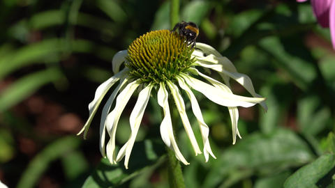 Coneflower (Echinacea purpurea) with bumblebee Archivo