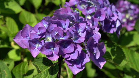 Flora - Hydrangea Macrophylla 1