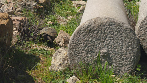 Tortoise crawling green grass ancient greek column ruins Live Action