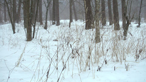 Beautiful winter forest, falling snow Live Action