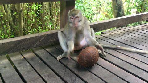 [alt video] Large monkey macaque drinks coconut juice from a green...