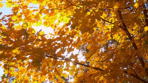 Autumn, beautiful golden autumn leaves Footage