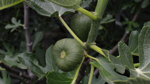 Focus On A green Fig Tree In Spring Footage