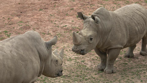 Southern white rhinoceros (Ceratotherium simum simum). Critically endangered animal species Footage