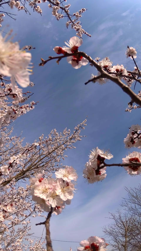 Apricot in bloom vertical video UHD Archivo