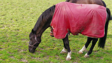 Dark horse in red blanket grazing in paddock at pasture Live Action