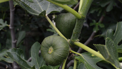 Focus On A green Fig Tree In Spring GIF