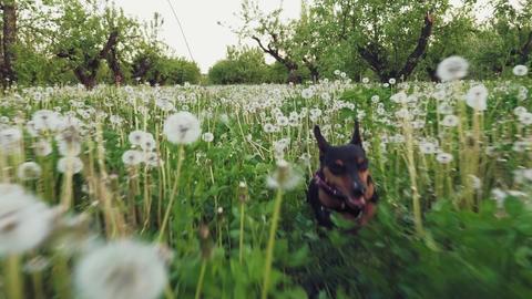 Min Pin dog runs along grees grass in garden Footage