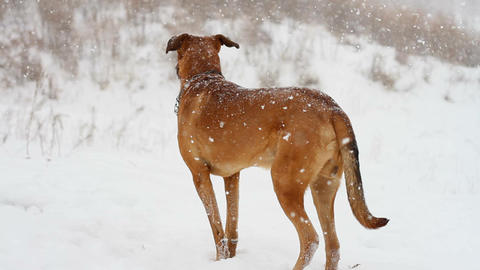 dog in the snow Stock Video Footage