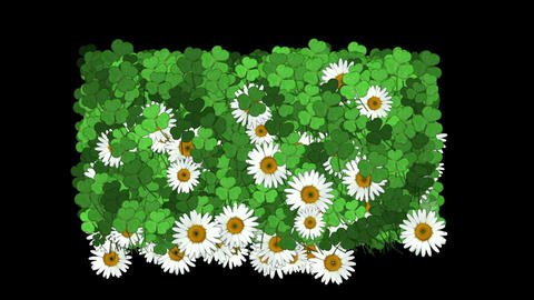 clover & white daisy Stock Video Footage