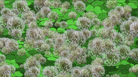 clover & dandelion Stock Video Footage