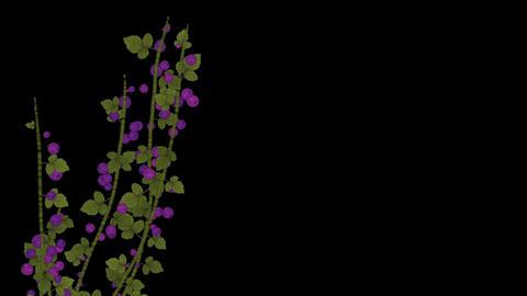growing berries & leaves Stock Video Footage