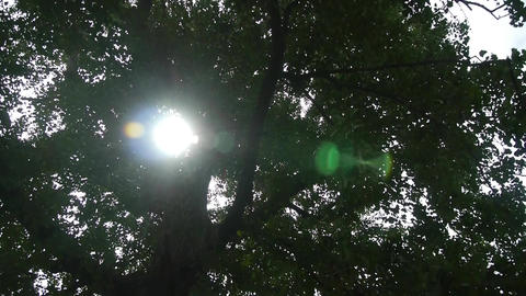 Sunlight through branches of ginkgo tree trunk leaves Stock Video Footage