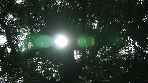 Sunlight through branches of ginkgo tree trunk leaves Footage