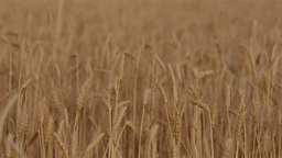 Crop of Wheat on a Farm Footage