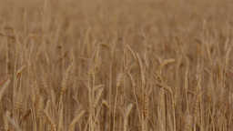 Crop of Wheat on a Farm Stock Video Footage