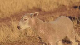 Cute Lamb Bleating Stock Video Footage