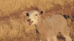 Cute Lamb Bleating stock footage