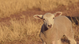 Cute Lamb Bleating Stock Video Footage