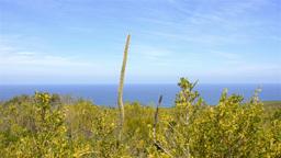 Balga (Grasstree) Overlooking the Indian Ocean Stock Video Footage