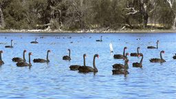 Flock Of Wild Black Swans On A Lake stock footage