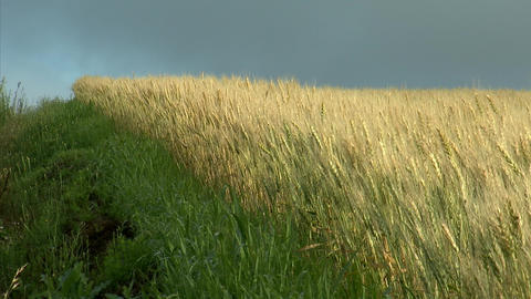 03富良野の農場 麦畑 Footage