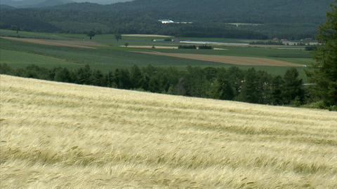 10富良野の農場 麦畑 Footage