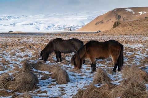 Iceland horse, Equus caballus Photo
