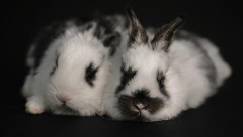 rabbit or bunny on black background Footage