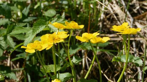 yellow flowers marsh marigold Footage