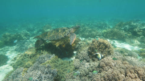 Underwater shot of ocean life in coral reef with green sea turtle and fish Live Action