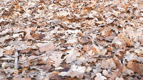 Dry oak leaves on the ground Footage