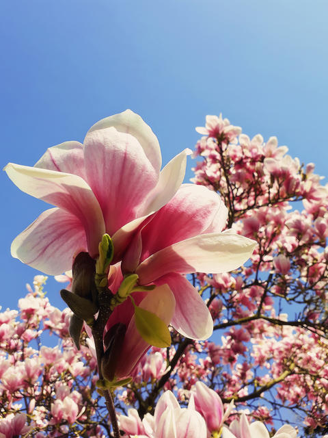 Wild pink magnolia tree buds blooming, floral pattern over blue sky. Spring flower cluster blossoms Photo