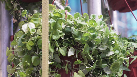 Wonderful green blooming plants potted in pots pots on white metallic rack Live Action