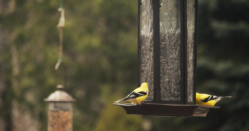 Brightly colored American Goldfinches perched on a feeder Archivo