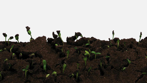 Time-lapse of germinating sunflower seeds with ALPHA channel GIF